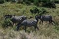 Zebras, Tarangire National Park (3) (28099708003).jpg