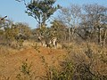 Zebras in the bush 02.jpg