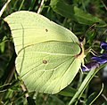 Zitronenfalter (Gonepteryx rhamni) 2.jpg