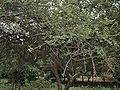 Ziziphus caracutta syn Z xylopyra (Ghatbor) in Vanasthalipuram, Hyderabad, AP W IMG 9259.jpg