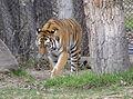 ZooMontana Tiger 01.JPG