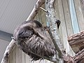 Zoo d'Arcachon - Paresseux - 2014-07-19 - img 2714.jpg