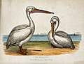 Zoological Society of London; two pelicans. Coloured etching Wellcome V0023140.jpg