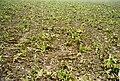 Zuckerrüben nach der Ernte005.jpg