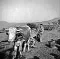 """""""Grozdovni legnarji"""" z volovsko vprego, Slap 1958.jpg"""