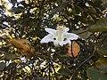 """""""abelha-cachorro"""" - Trigona spinipes - em flor de """"açoita-cavalo-graúdo"""" Luehea grandiflora Mart. & Zucc. (Malvaceae) 03.jpg"""