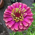 'Queen Red Lime' zinnia IMG 0822.jpg