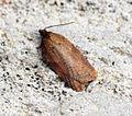 (1047) Acleris schalleriana - Flickr - Bennyboymothman (2).jpg