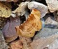 (1919) Purple Thorn (Selenia tetralunaria) (36985741145).jpg