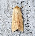 (2199) Common Wainscot (Mythimna pallens) - Flickr - Bennyboymothman (2).jpg