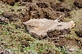 (2 5) A Small Pratincole chick hiding with its eyes closed. (49894771932).jpg