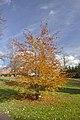 Žampach, dolní zámecký park, strom II.jpg