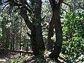 Багатостовбурова сосна у Шагарівському лісі.jpg