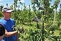 Вирощування яблуні 1.jpg