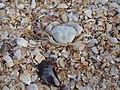Залишки морских тварин на Арабатської стрілці.jpg