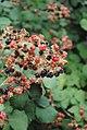 Капила, lat.Rubus fruticosus L. во с.Љубојно.jpg