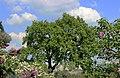 Національний ботанічний сад ім. М.Гришка Бузок 06.JPG