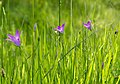 Полски цветя.jpg