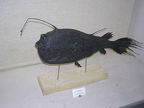 Cryptopsaras holboelli, Weibchen mit parasitischem Zwergmännchen, Präparat im Museum für Zoologie von Sankt Petersburg.