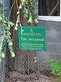Тис ягідний (ботанічна пам'ятка природи), м. Одеса, Обсерваторний пров., 3. 2018 рік. 01.jpg