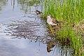 Фифи - один из видов улитов семейства бекасовых.jpg