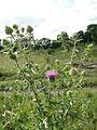 Цветет чертополох - panoramio.jpg