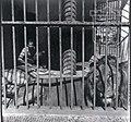 גן החיות של תל אביב אריה צלם וילי פולנדר 1954 ארכיון עיריית תל אביב.jpg
