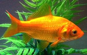 Common goldfish - Image: דגים (cropped)