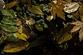 برگ روی برکه-پاییز-Floating leaves fallen from trees 04.jpg