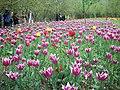 جشنواره لاله های گچسر - panoramio (2).jpg