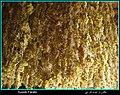 سبزه انگور - panoramio.jpg