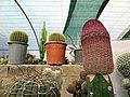 گلخانه کاکتوس دنیای خار در قم. کلکسیون انواع کاکتوس 36.jpg