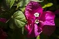 گل کاغذی- Bougainvillea 08.jpg