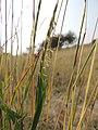पवन्या,गवत प्रजाती, लामकानी, धुळे Pavanya, Grass species Lamkani, Dhule (sehima nervosum).jpg