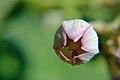 रुचकिण फूलाची कळी.jpg