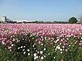 キリンビアパーク福岡 花畑のコスモス - panoramio.jpg