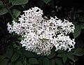 丁香屬 Syringa × prestoniae 'McKelvey' -波蘭 Krakow Jagiellonian University Botanic Garden, Poland- (36602148462).jpg
