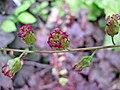 凌風草礬根 Heuchera x brizoides -比利時 Leuven Botanical Garden, Belgium- (9204819933).jpg