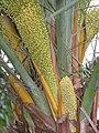 台灣海棗 Phoenix hanceana v formosana -香港青衣公園 Tsing Yi Park, Hong Kong- (9216084944).jpg