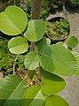 小葉紫檀(學名:Pterocarpus santalinus),檀香紫檀.jpg