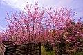 櫻花在臺灣嘉義阿里山 Cherry blossom - Sakura in Alishan, Chiayi, TAIWAN.jpg
