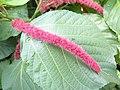 狗尾紅(紅穗鐵莧) Acalypha hispida -香港動植物公園 Hong Kong Botanical Garden- (9207615398).jpg