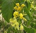 秦嶺忍冬 Lonicera ferdinandi -瀋陽植物園 Shenyang Botanical Garden, China- (9216098316).jpg