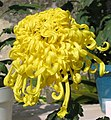 菊花-金龍鑄鼎 Chrysanthemum morifolium 'Golden Dragon Casting Tripod' -香港圓玄學院 Hong Kong Yuen Yuen Institute- (12099654026).jpg