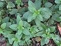 -2019-10-31 Garden Mint (Mentha spicata), Trimingham.JPG