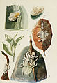 03-Indian-Insect-Life - Harold Maxwell-Lefroy - Coccidae.jpg