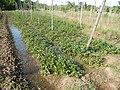 0581jfLandscapes Roads Vegetables Fields Binagbag Angat Bulacanfvf 03.JPG