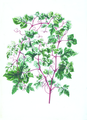 070-Ampelopsis glandulosa.tif
