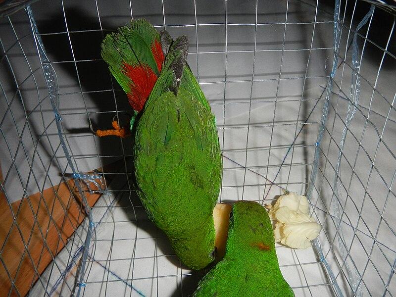 File:09949jfPhilippine Hanging Parrot Bulacanfvf 08.jpg