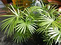 0998Ornamental plants in the Philippines 54.jpg
